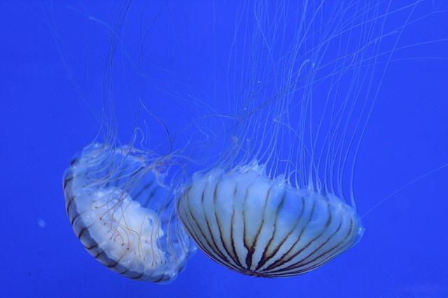 modrá medůza